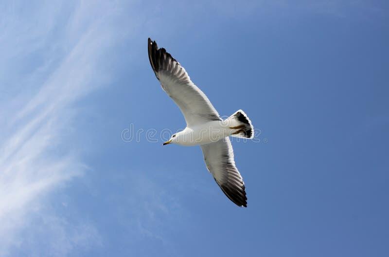 Seagull w locie zdjęcie stock