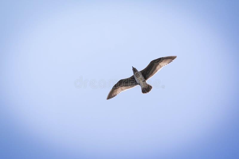 Seagull w locie przeciw niebieskiemu niebu z światłem słonecznym przez piórek obrazy royalty free