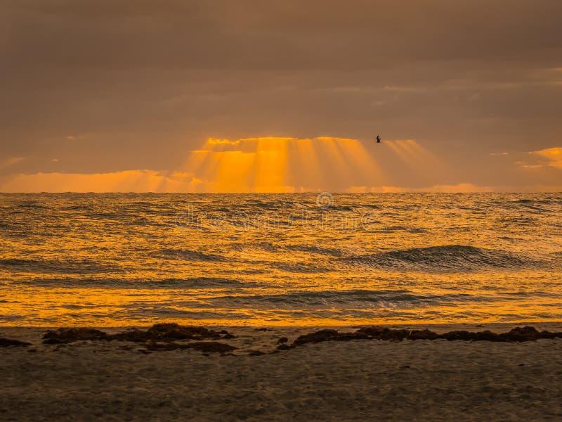 Seagull w locie w Złotych słońce promieniach zdjęcie stock