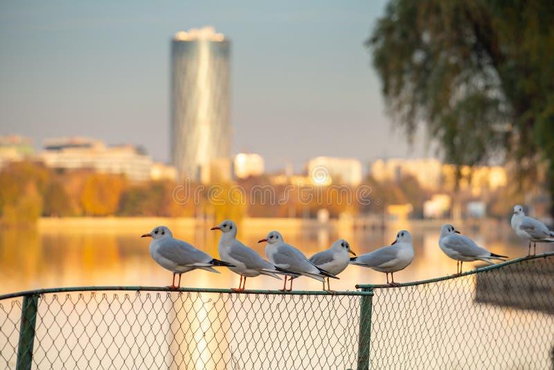 Seagull w mieście, Herastrau park, Bucharest w jesień czasie fotografia stock