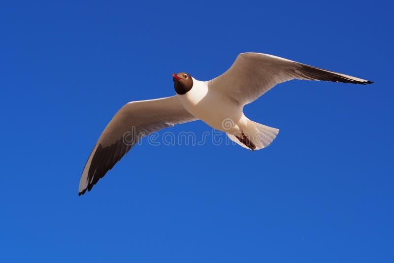 Seagull w niebach zdjęcia royalty free