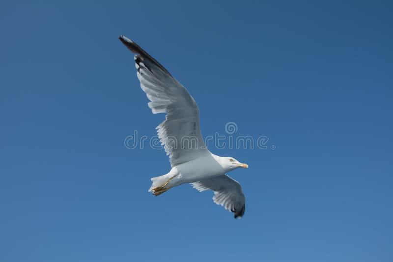 Seagull w niebieskim niebie obrazy stock