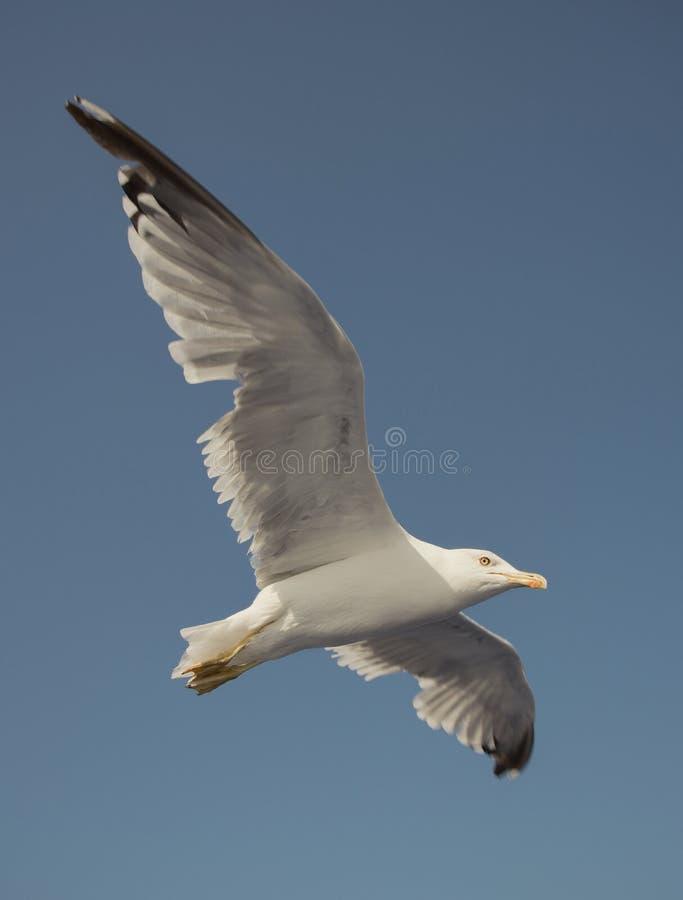 Seagull w niebieskim niebie zdjęcie stock