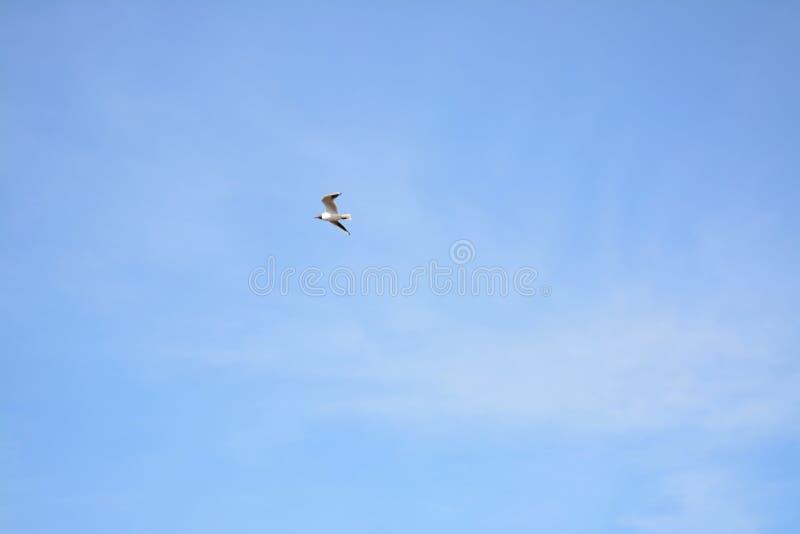 Seagull w niebieskim niebie Rosja fotografia royalty free