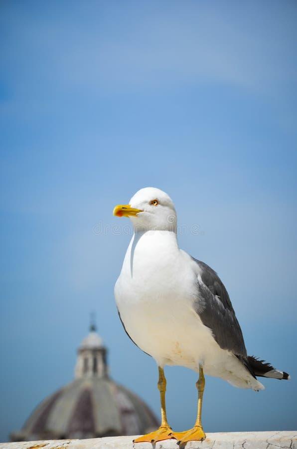 Seagull w Rzym fotografia stock