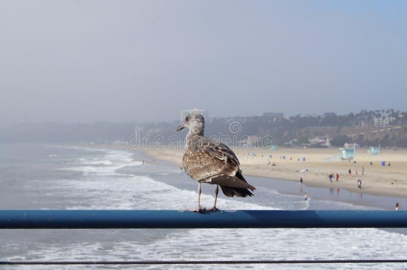 Seagull w Snata Monica plaży, Pacyficzny ocean fotografia royalty free