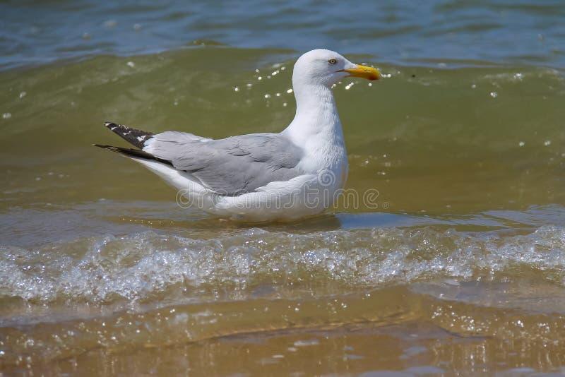 Seagull w wodzie Północny morze Zandvoort holandie obrazy royalty free