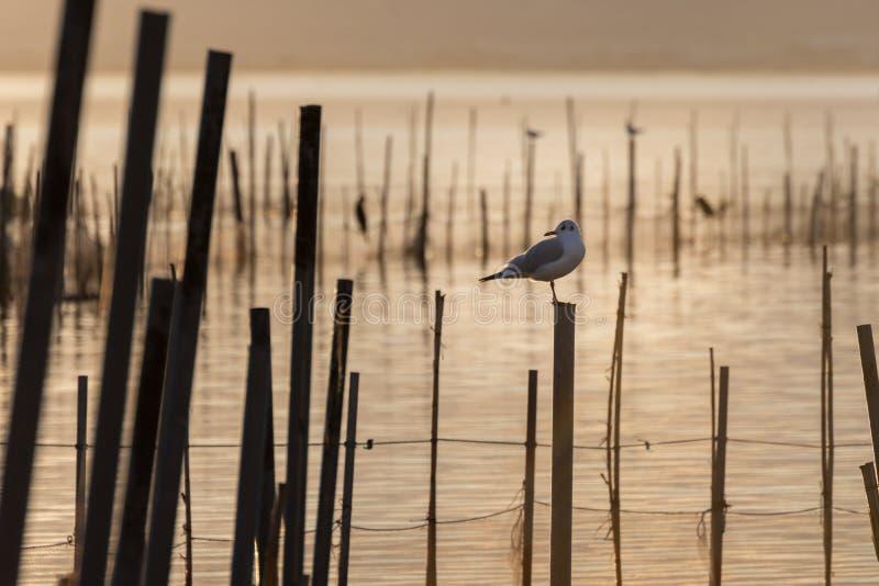 Seagull w złotym zmierzchu na spokój wodach w naturalnym parku Albufera, Walencja, Hiszpania Magia kolory i doskonalić naturalny obrazy stock