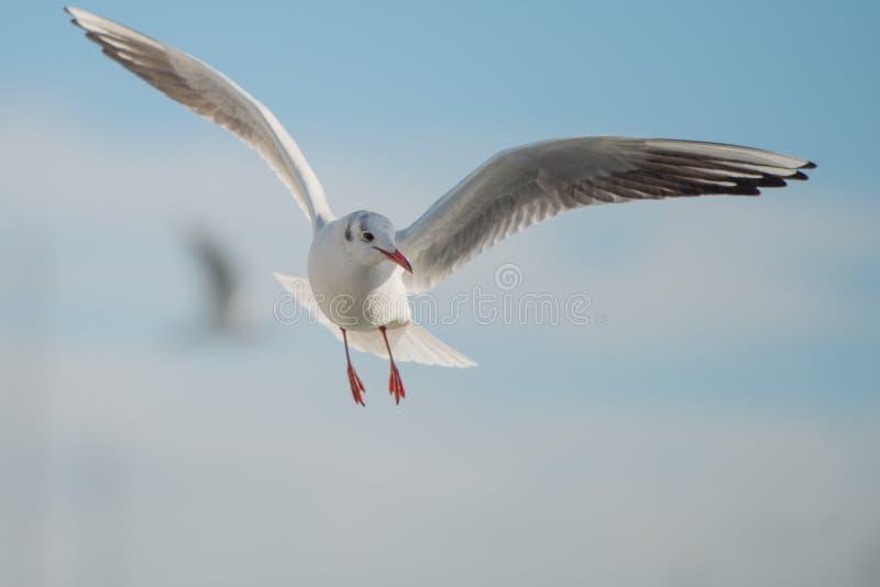 Seagull w zatoce zdjęcia stock