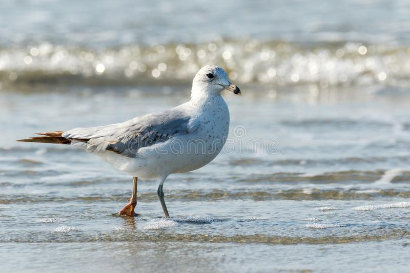 Seagull walking along the beach in the Atlantic Ocean. Close up of a lone seagull walking on the beach with the Atlantic Ocean tide coming in royalty free stock image