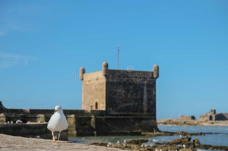 A seagull walking around the ramparts at Essaouira citadel. A seagull walking around the ramparts at Essaouira citadel by Skala du port, Morocco. Selective stock photo