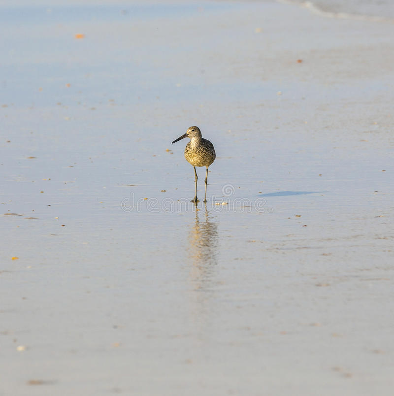 Free Seagull Walking At The Beach Royalty Free Stock Photo - 33719035
