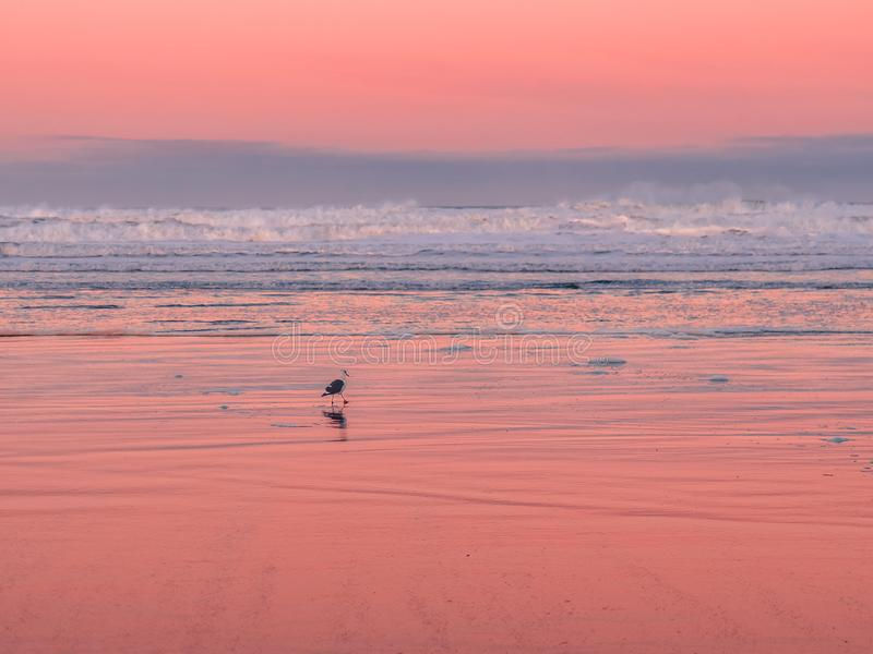 Seagull walking on the beach at dawn stock image