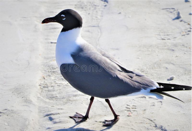 Seagull walking the beach royalty free stock photo
