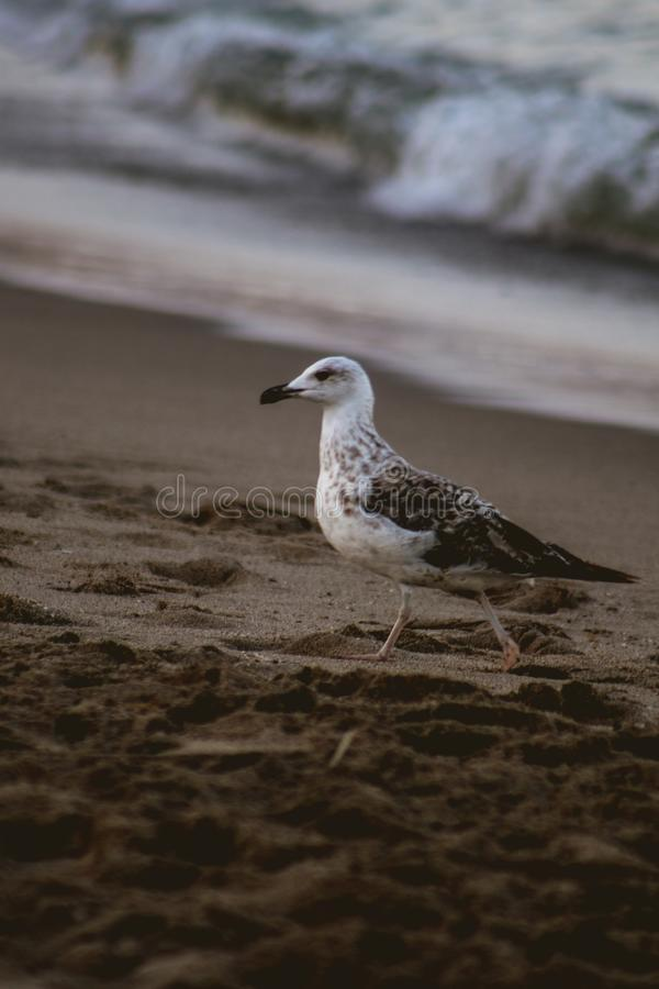 Free Seagull Walking On The Sand Of The Beach Royalty Free Stock Images - 157653919