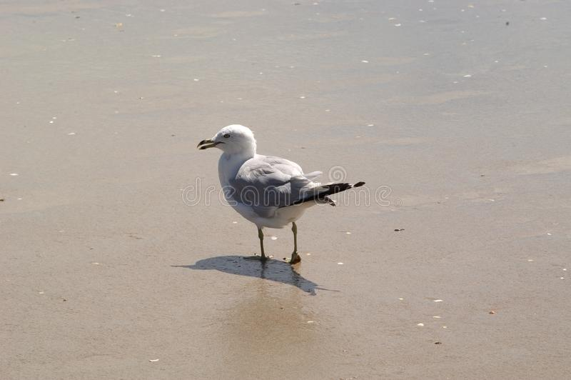 Download Seagull walking on sand stock photo. Image of resort, water - 16968