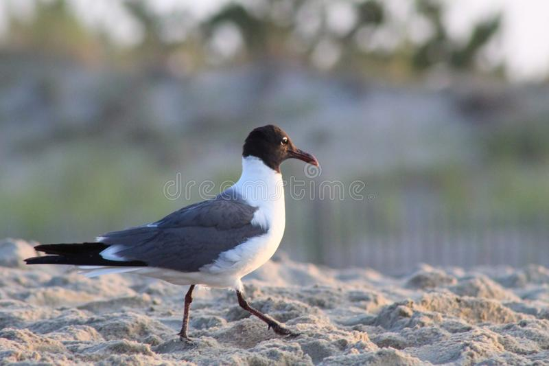 Seagull walking on sand at the ocean with blurry background. A lighthouse in a patch of bright green grass near Cape Henlopen, Delaware. Concrete, building stock images