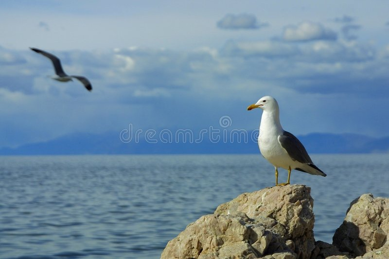 Seagull watching another's flight stock image