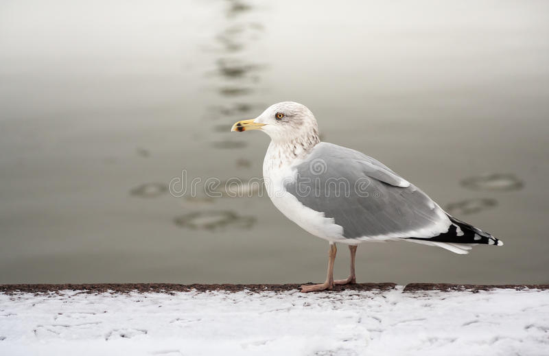 Download Seagull by water stock image. Image of white, standing - 37763673