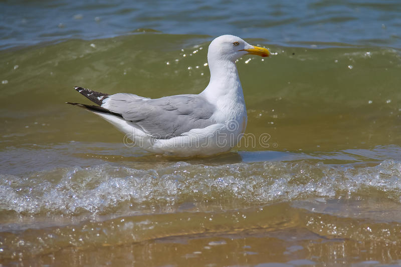 Seagull in a water of North sea. Zandvoort, the Netherlands. Seagull in a water of North sea in Zandvoort, the Netherlands royalty free stock images