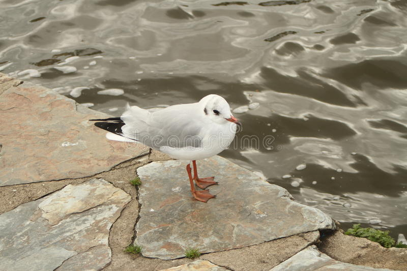 Seagull by the water. Resting seagull on a paved pathe by the side of the pond or stream stock photography