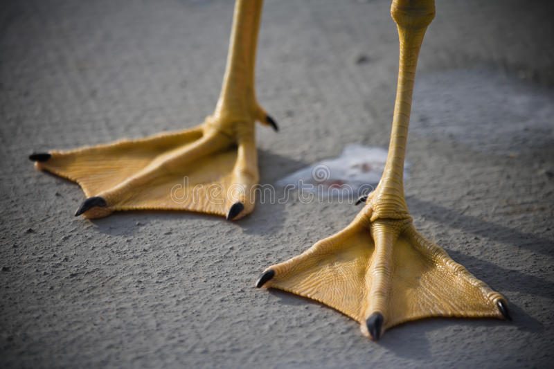 Seagull webbed feet. Close up of seagull webbed feet royalty free stock images