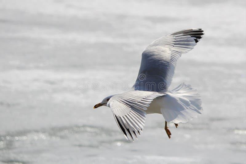 Seagull wokoło lądować na lodzie obraz stock
