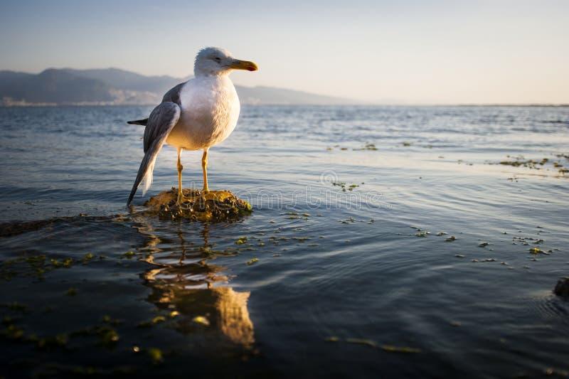 Seagull z łamanym skrzydłem obrazy stock