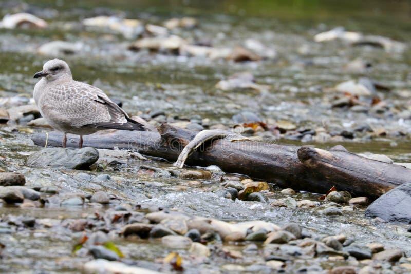 Seagull z nieżywym łososiem fotografia stock