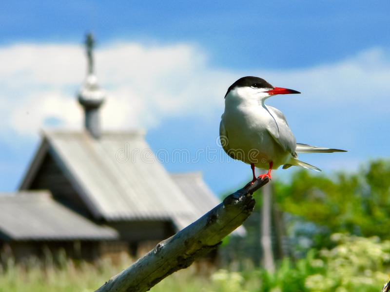seagull z otwartym belfrem przeciw tłu kościół fotografia royalty free
