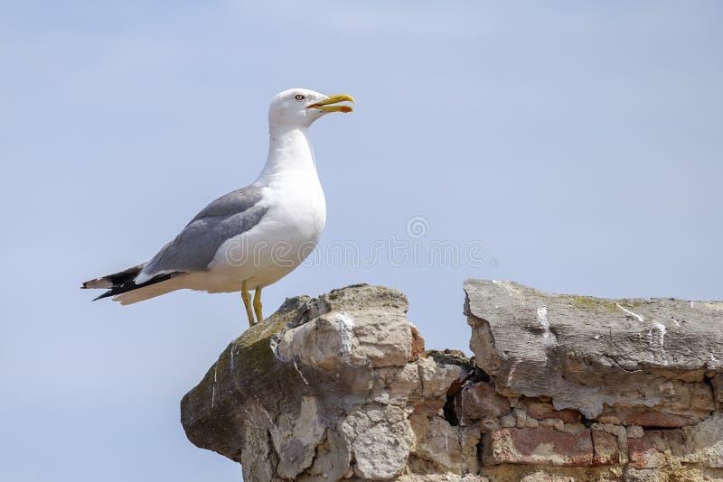 Seagull z otwartym belfrem siedzi na kamieniach zdjęcie stock