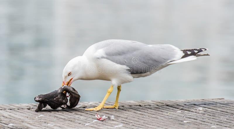 Seagull zabija gołębia obraz stock