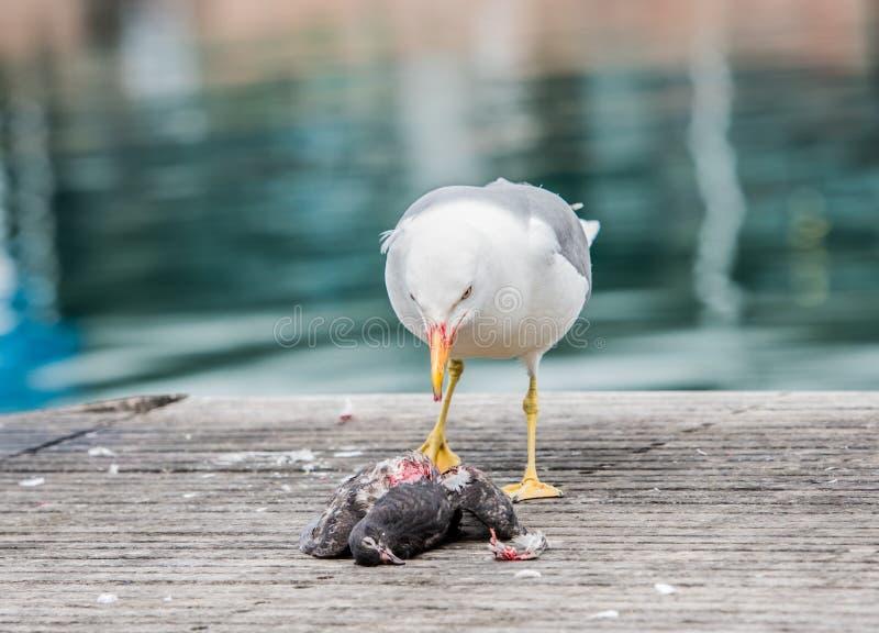Seagull zabija gołębia fotografia royalty free