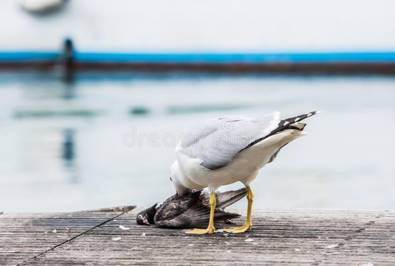 Seagull zabija gołębia zdjęcia stock