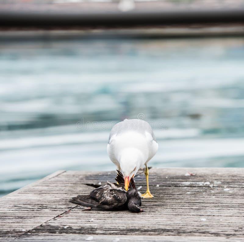 Seagull zabija gołębia obrazy royalty free