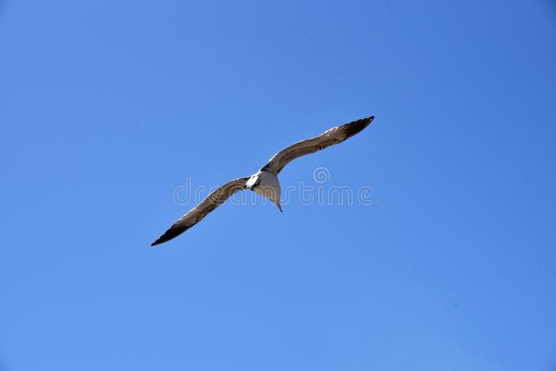 Seagull zamkni?ty up obraz stock