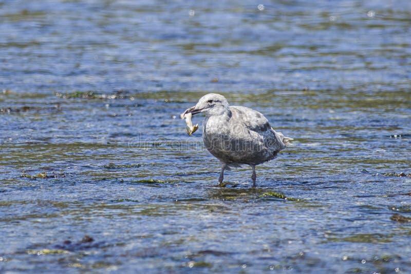 Seagull zbiera jedzenie w płytkiej wodzie fotografia royalty free