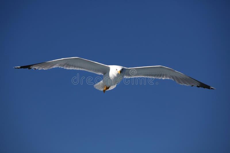 seagull4 royaltyfri foto