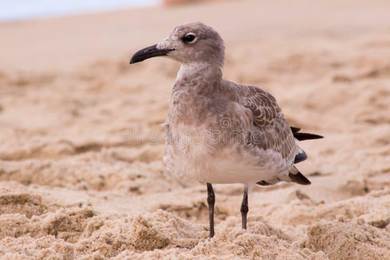 Seagullanseende i sanden royaltyfri bild