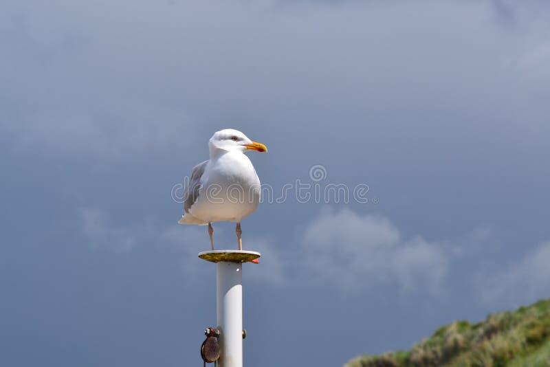 Seagullanseende på en pelare arkivbilder