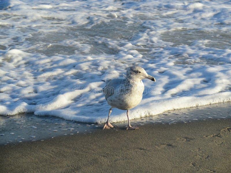 Seagullbad arkivbild