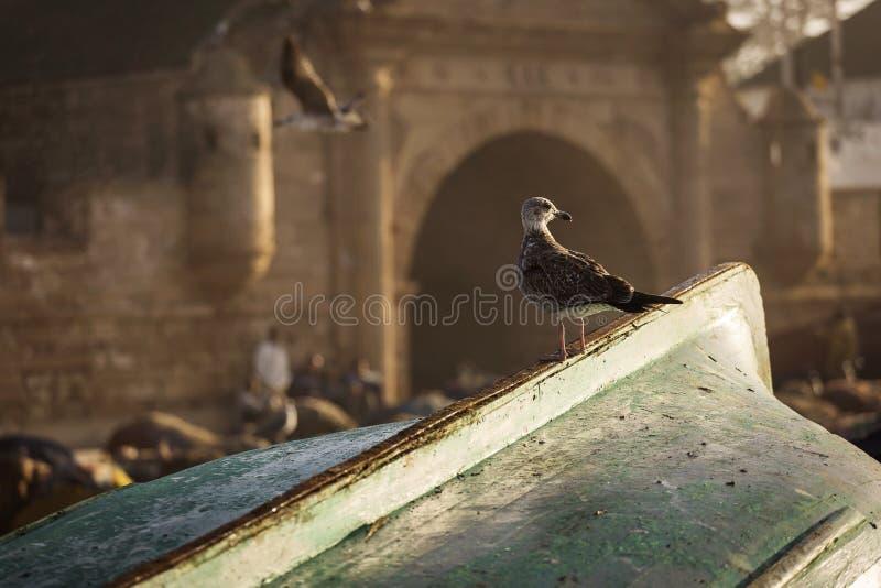 Seagulle w Essaouira o wschodzie słońca z pięknym tłem Maroko obrazy royalty free