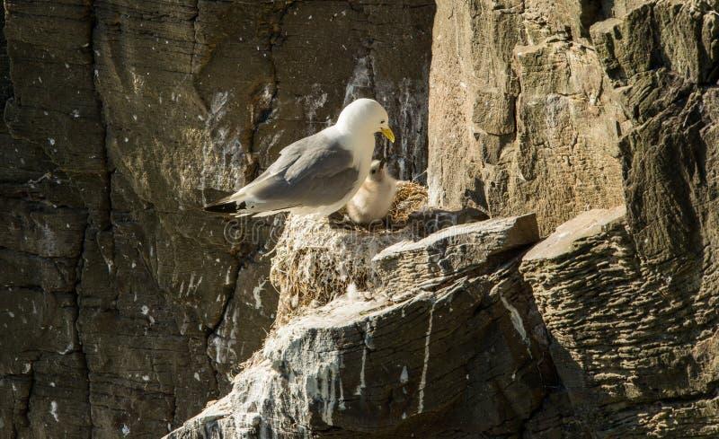 Seagullen behandla som ett barn fågeln arkivbilder