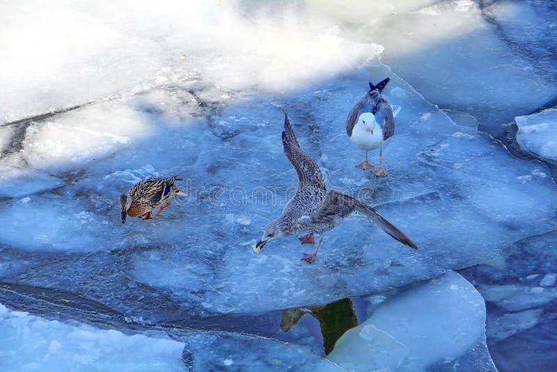 Seagullen grep maten Drake håller ögonen på tyst Hans tankar är okända royaltyfri foto