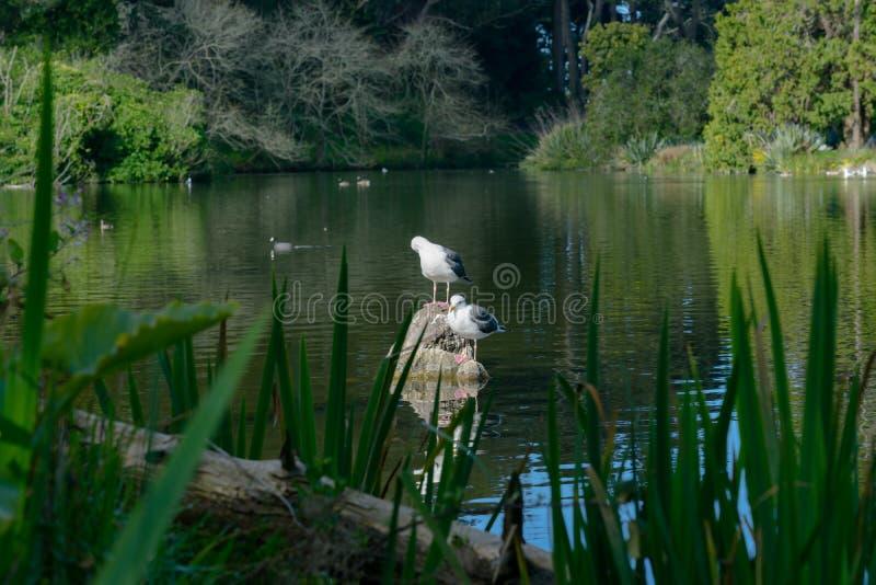 seagullen i sjön - stuva sjön i Golden Gate Park royaltyfria foton