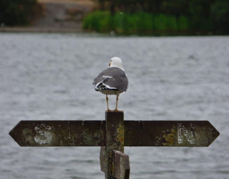 Seagullen på staketstolpen som ser över pråligt land för pennington, parkerar, fotoet som tas i den mitt- sommaren för UK royaltyfria bilder
