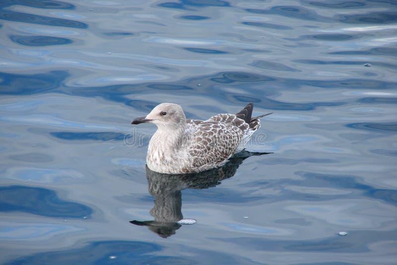 Seagullen poserar för ett foto royaltyfri bild