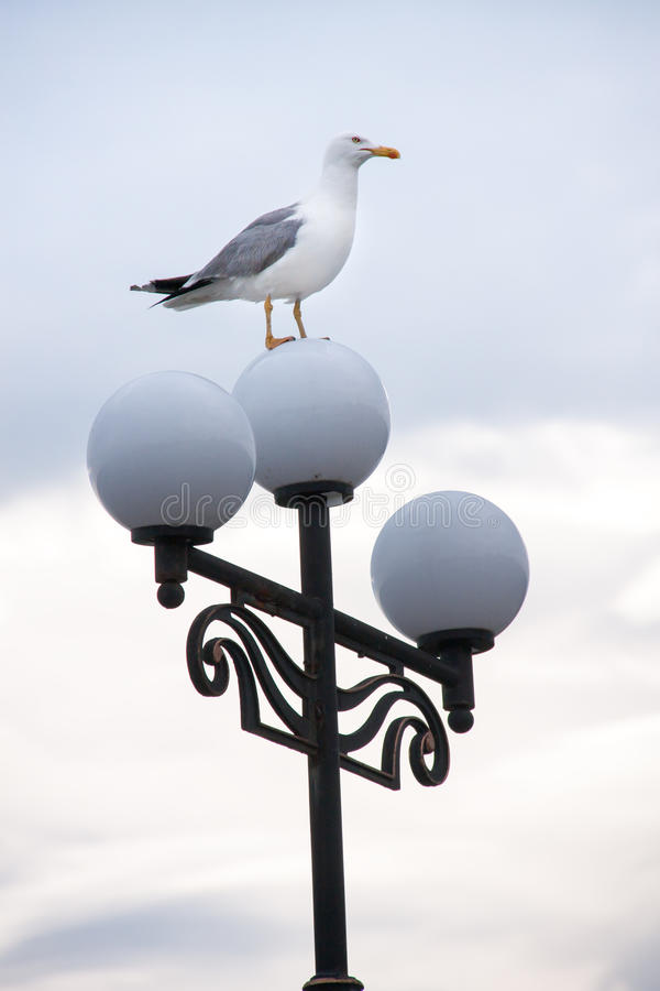 Seagullen sätta sig på gatalampor i aftonen fotografering för bildbyråer