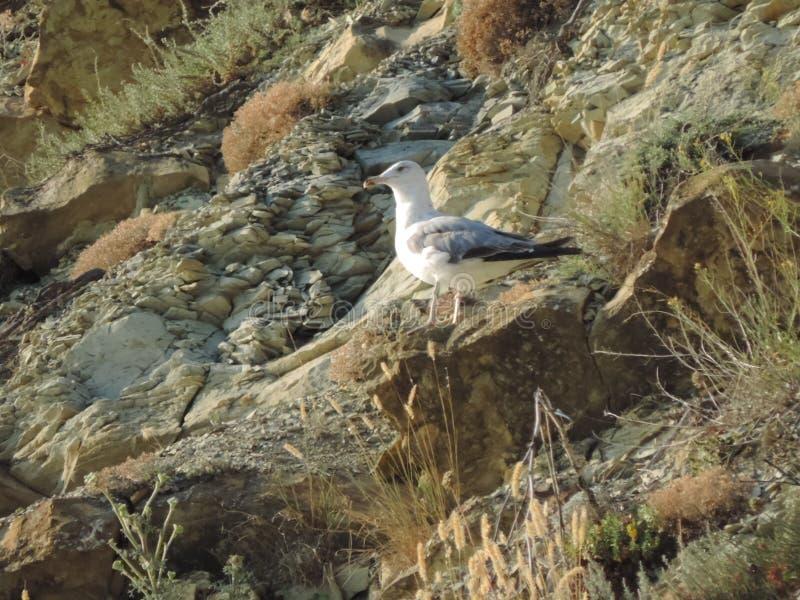 Seagullen sitter på stenar arkivfoton