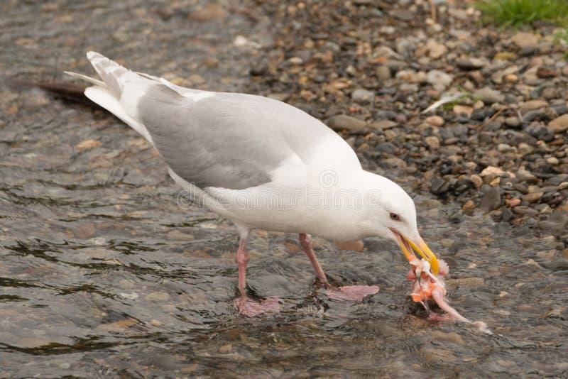 Seagullen som pickar på laxstora biten blir grund in royaltyfri bild